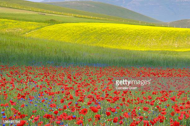 colourful flower fields of piano grande - castelluccio stock photos and pictures