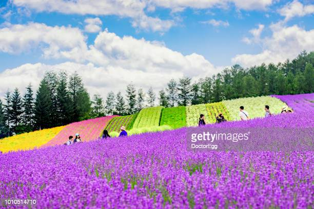 Colourful Flower Garden and Lavender Field at Tomita Farm in Summer , Furano, Hokkaido, Japan
