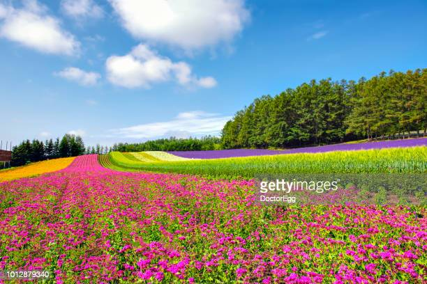 colourful flower garden in summer blue sky day at tomita farm, furano, japan - biei town stock pictures, royalty-free photos & images