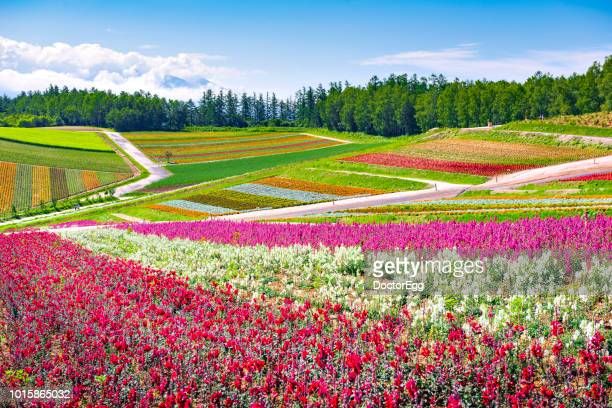 colourful flower garden with blue sky at shikisai no oka flower farm in summer, hokkaido, japan - biei town stock pictures, royalty-free photos & images