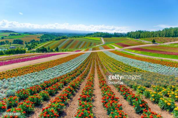 Colourful Flower Garden with Blue Sky at Shikisai No Oka Flower Farm in Summer, Hokkaido, Japan