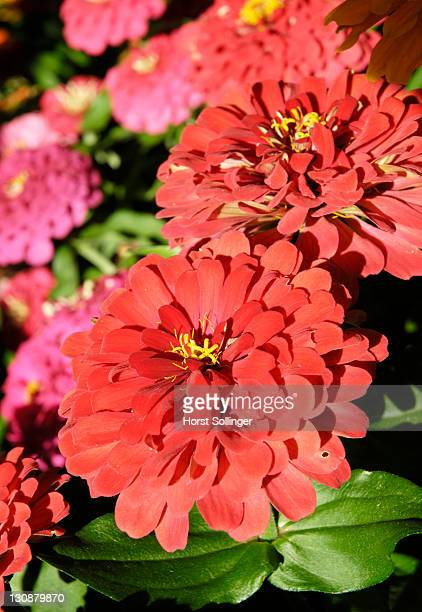 colourful flowers of Cinia flowers