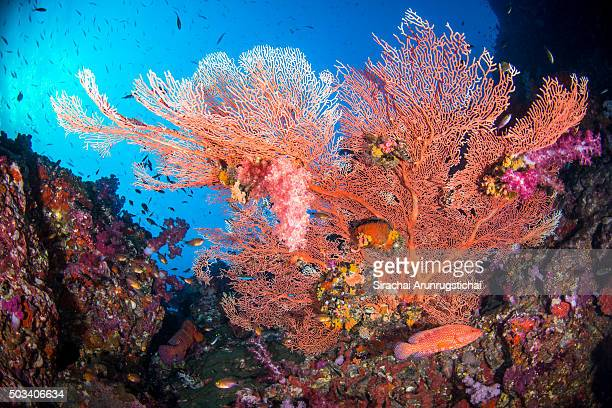 Colourful gorgonian sea fan in a coral reef