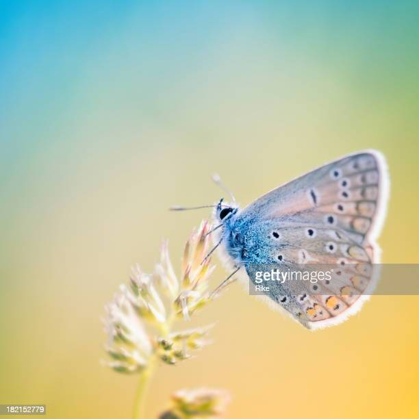 Colourful little butterfly (Common blue)