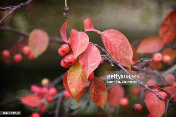 colourful nature: crabapple tree in autumn - crab apple tree stock pictures, royalty-free photos & images