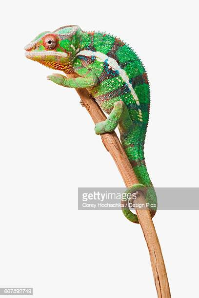 Colourful Panther Chameleon (Furcifer pardalis) on a white background