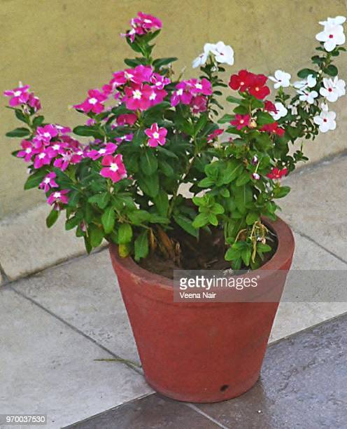 Colourful petunias' in the flower pot/Ahmedabad