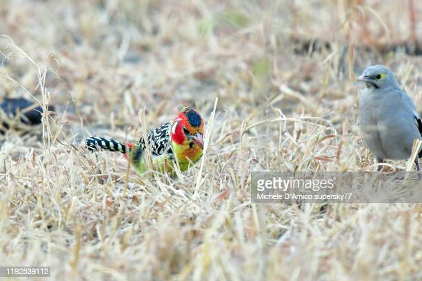 colourful red-and-yellow barbet (trachyphonus erythrocephalus) - barbuto testarossa foto e immagini stock