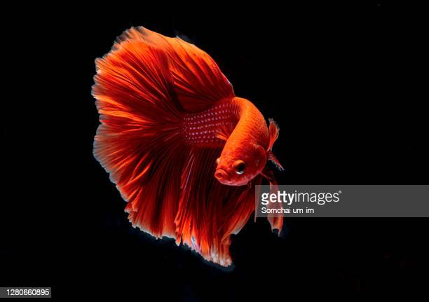 colourful siamese fighting fish is moving moment  isolate on black background - um animal stock pictures, royalty-free photos & images