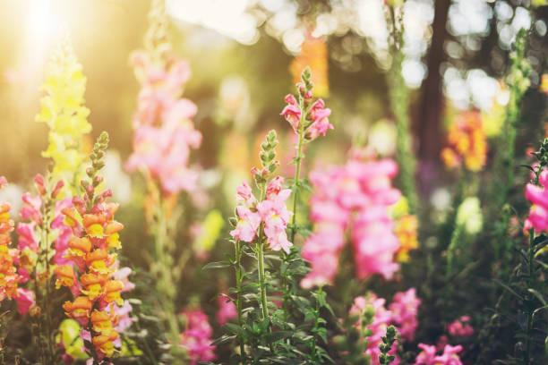 Colourful Snapdragon Flowers - Fine Art prints