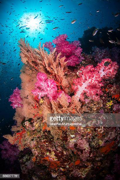 Colourful soft corals on a reef with sunball