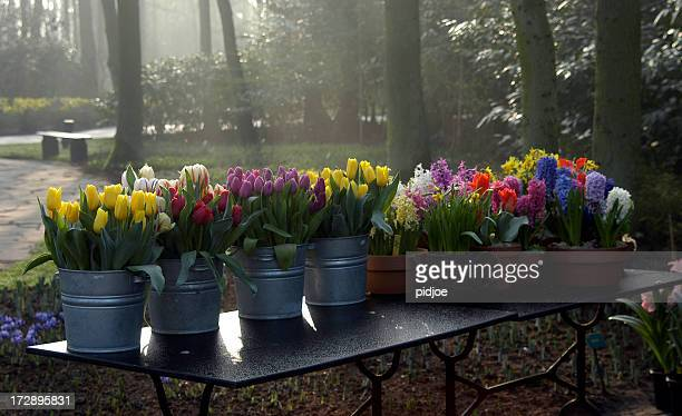 colourful spring flowers on hazy morning - tulips and daffodils stock pictures, royalty-free photos & images