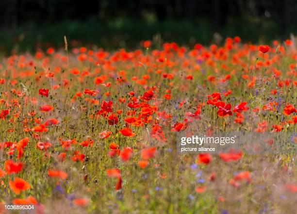 Colourful summer flowers blossoming on a field near Crossow Germany 22 June 2016 The foundation NaturSchutzFonds Brandenburg developed a cultivation...