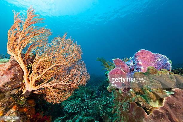 Colourful Unterwater Beauties at Pura Island, Pantar Strait, Alor, Indonesia