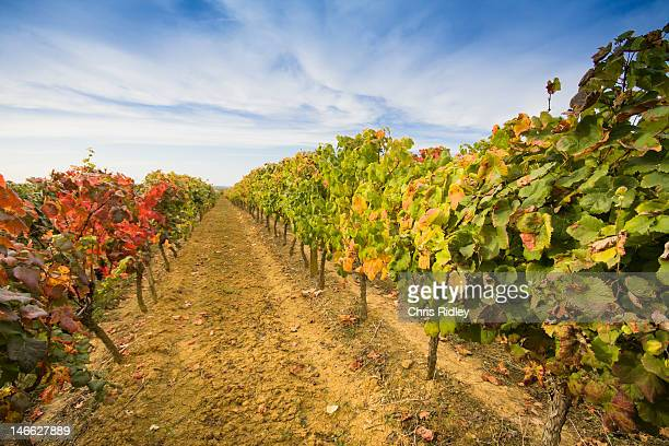 Colourful vineyard in Souther France