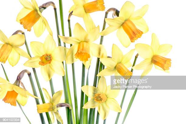 colourful yellow, spring daffodils - narcissus flowers, up close - narcissus mythological character stock photos and pictures