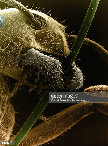 Colourised SEM image of ants (family Formicidae) head and mouthparts gripping stem, including mandibles used to carry food, manipulate objects, construct nests and in defence.