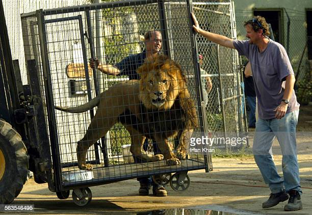 Colton July 29 2003 ––– Lion roars as Todd Appleman right and Pat Craig center back push the cage on to a forklift so it could be loaded onto a...