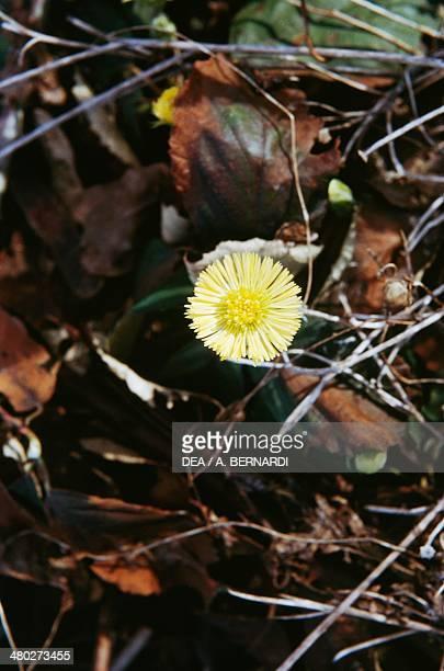 Coltsfoot Asteraceae