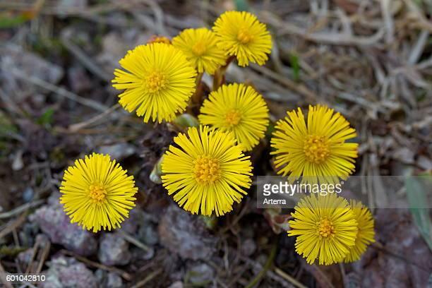 Coltsfoot / butterbur in flower
