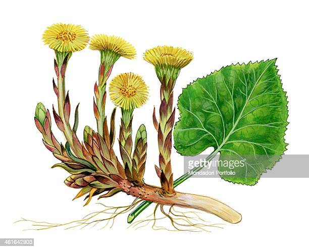 Coltsfoot by Giglioli E 20th Century ink and watercolour on paper Whole artwork view Drawing of the plant and the flower of coltsfoot
