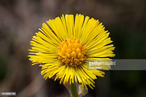 coltsfoot, close-up of flower - coltsfoot stock photos and pictures
