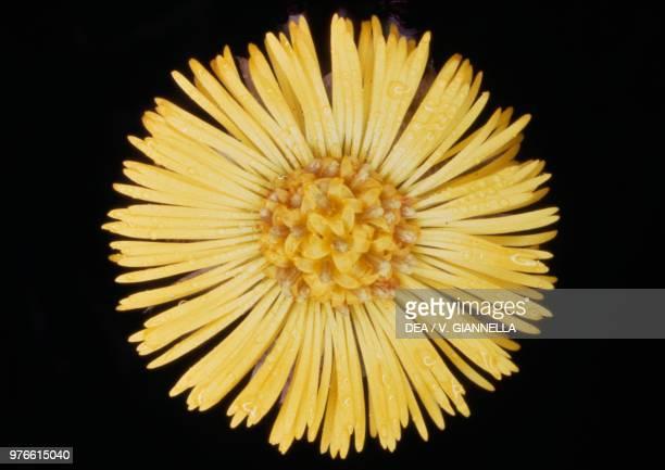 Coltsfoot flower Asteraceae