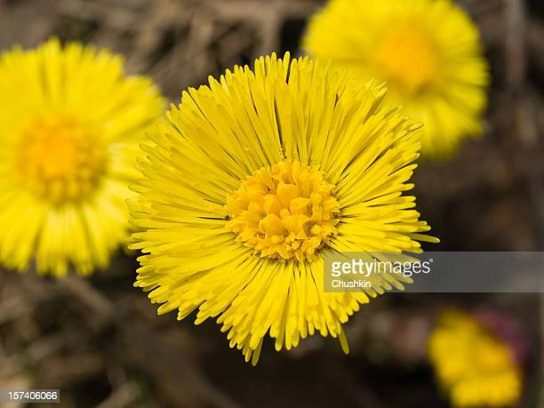 coltsfoot (tussilago farfara) - coltsfoot stock photos and pictures