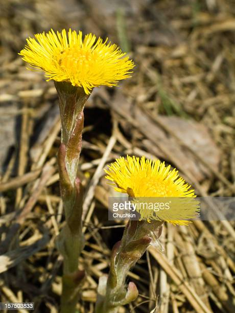 coltsfoot - coltsfoot stock photos and pictures