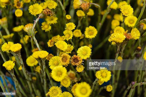 Coltsfoot seen at the biannual gardeners' market at the Botanical Gardens on April 5 2014 in Berlin Germany Approximately 100 nurseries and gardening...