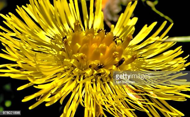 coltsfoot side - coltsfoot stock photos and pictures