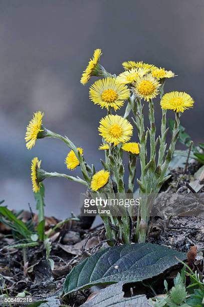 coltsfoot -tussilago farfara-, baden-wurttemberg, germany - coltsfoot stock photos and pictures