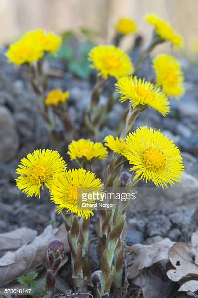 coltsfoot -tussilago farfara- - coltsfoot stock photos and pictures