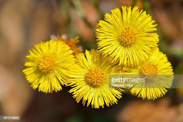 coltsfoot, tussilgo farfara - coltsfoot stock photos and pictures