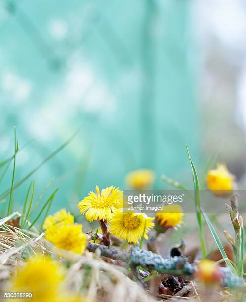 coltsfoots - coltsfoot stock photos and pictures