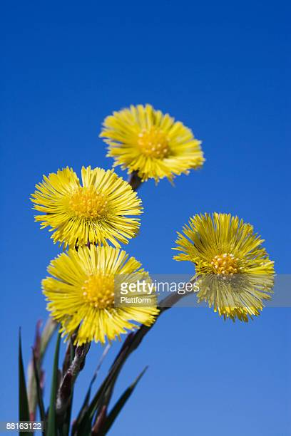 coltsfoots sweden. - coltsfoot stock photos and pictures