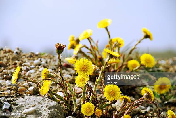 coltsfoot,tussilago farfara - coltsfoot stock photos and pictures