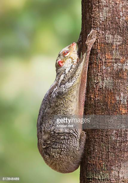 colugo in malaysia - flying lemur stock pictures, royalty-free photos & images