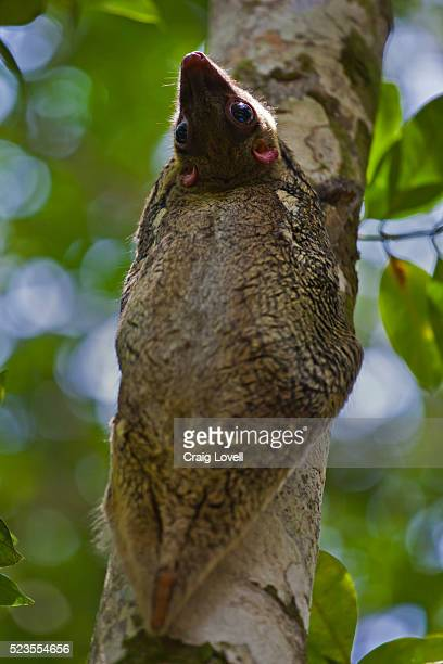 colugo or flying lemur (galeopterus variegatus) on a tree - flying lemur stock pictures, royalty-free photos & images
