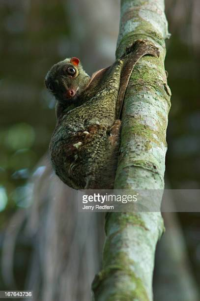 Colugo or Sunda Flying Lemur, also known as a Malayan Flying Lemur photographed in the Bako National Park. The flying lemur is not actually a lemur,...