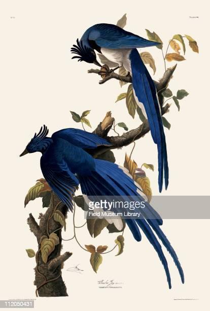 Columbia Jay Plate 96 in John James Audubon's Birds of America late 1830s