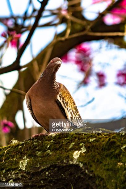 columbidae is a bird family consisting of pigeons and doves. it is the only family in the order columbiformes. - crmacedonio stock pictures, royalty-free photos & images
