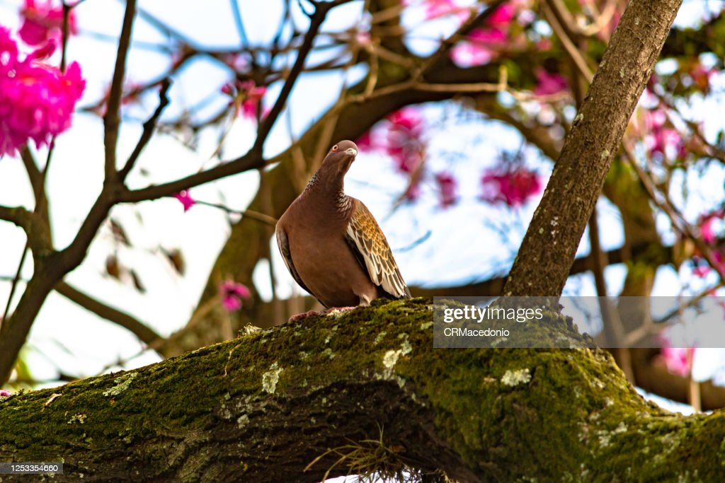 Columbidae is a bird family consisting of pigeons and doves. It is the only family in the order Columbiformes. : Stock Photo