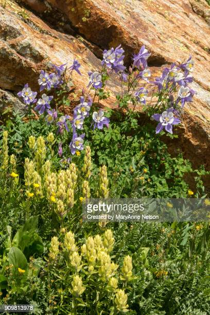 columbine and paintbrush wildflowers - columbine flower stock pictures, royalty-free photos & images