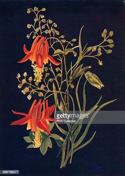 Columbine circa 1915 Aquilegia truncata Crowfoot Family From Wild Flowers from the Mountains Canons and Valleys of California by Emma Graham Clock [H...