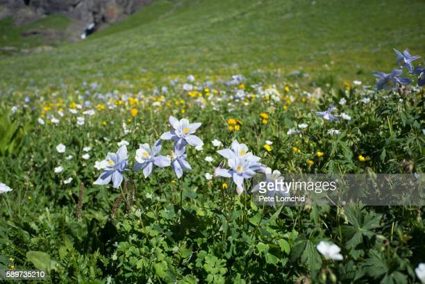 columbine flowers field - columbine flower stock pictures, royalty-free photos & images