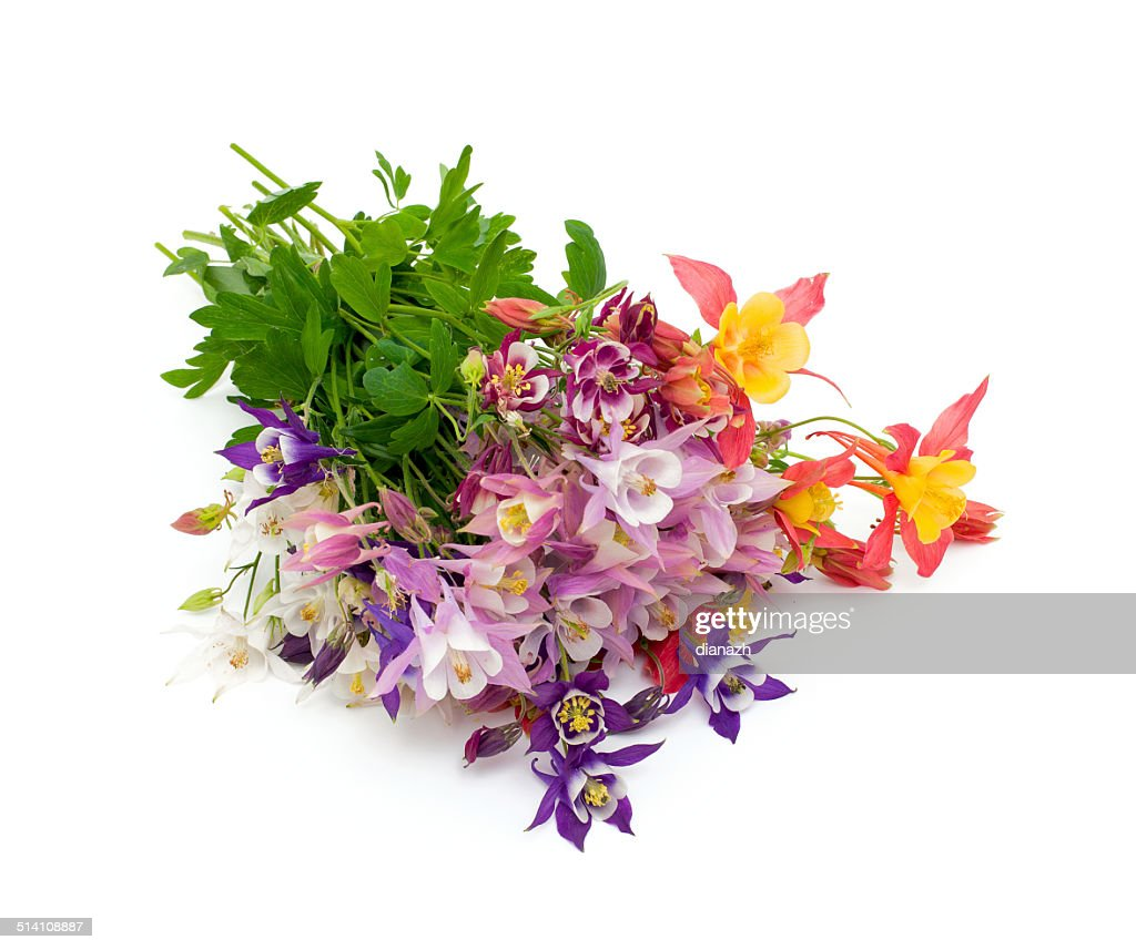Columbine flowers of different colors stock photo getty images columbine flowers of different colors stock photo izmirmasajfo