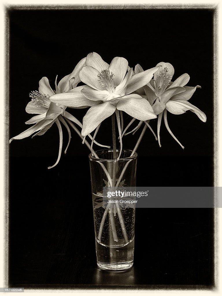 3 columbine flowers on black stock photo getty images 3 columbine flowers aquilegia hybrida on black stock photo izmirmasajfo Image collections