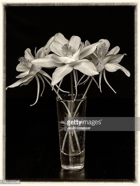 3 Columbine flowers (Aquilegia hybrida) on black