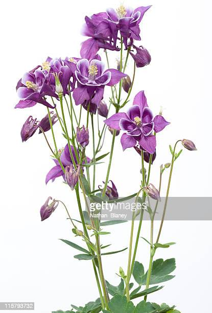 columbine flowers - columbine flower stock pictures, royalty-free photos & images